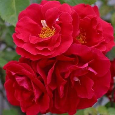 Троянда Flamentanz смотреть