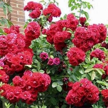 Троянда Flamentanz описание