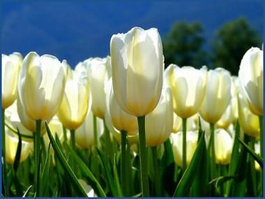 Тюльпан White Emperor (Purissima) смотреть