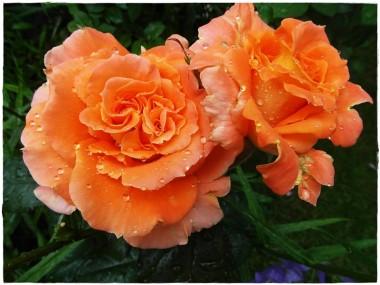 Троянда Flora Danica почтой