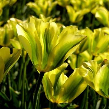 Тюльпан Formosa смотреть