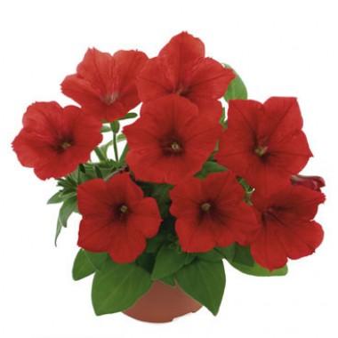 Петунія Fortunia Red фото цена