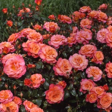 Троянда Freisinger Morgenrote фото цена