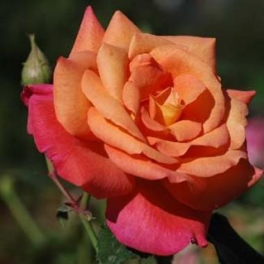 Троянда Freisinger Morgenrote в киеве