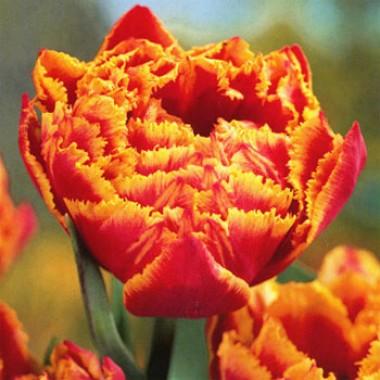 Тюльпан Fringed Beauty почтой
