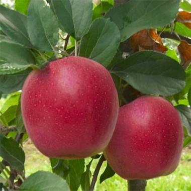 Яблуня Гала Шніга почтой