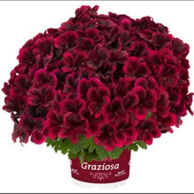 Пеларгонія Graziosa Merlot Red почтой