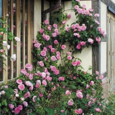 Троянди Девіда Остіна