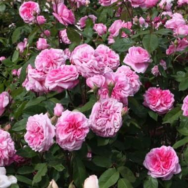 Троянда Gertrude Jekyll фото