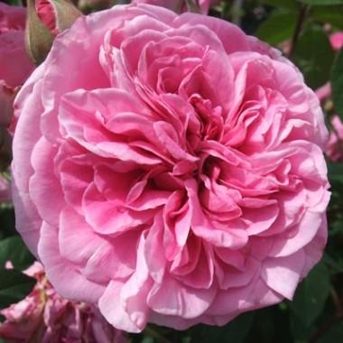 Троянда Gertrude Jekyll описание
