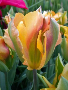 Тюльпан Golden Artist фото цена