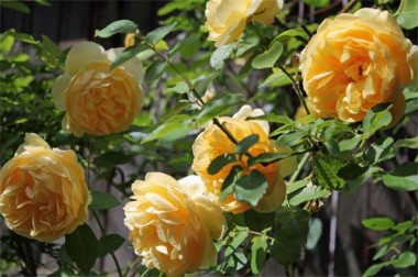 Роза Graham Thomas фото цена