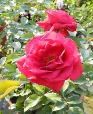 Троянда Grande Classe почтой