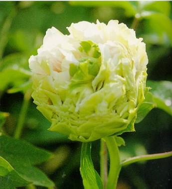 Півонія Green Jade Lu Mu Ying Yu деревовидна купить онлайн