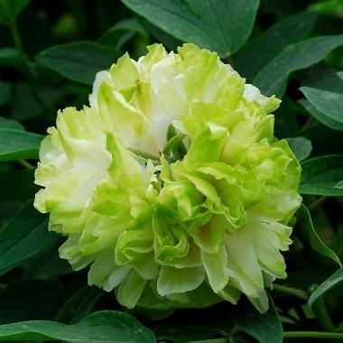 Півонія Green Jade Lu Mu Ying Yu деревовидна фото