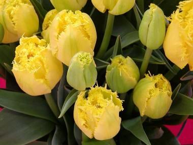 Тюльпан Hamilton купить онлайн