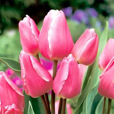 Тюльпан Happy Family описание