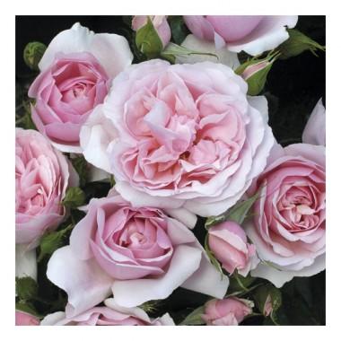Троянда Natascha Richardson интернет-магазин