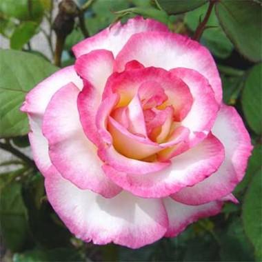 Троянда Haendel почтой