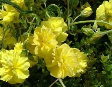 Геліантемум Sulphureum Plenum фото цена