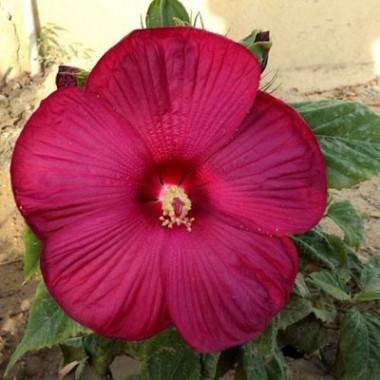 Гібіскус садовий Disco Belle Rosy Red описание