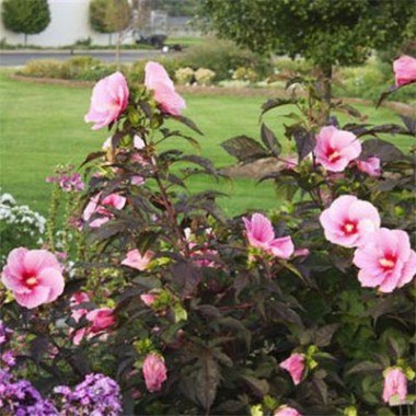 Гібіскус садовий Summer Storm описание