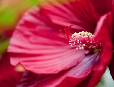 Гібіскус садовий Cranberry Crush в киеве