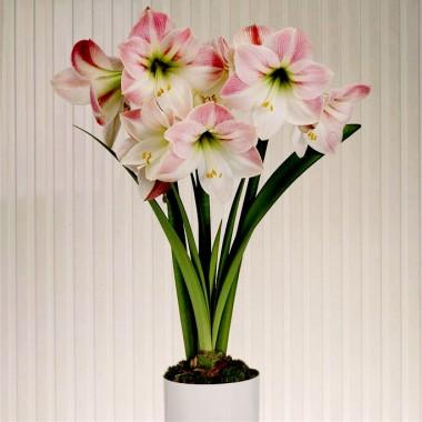 Амариліc Apple Blossom фото