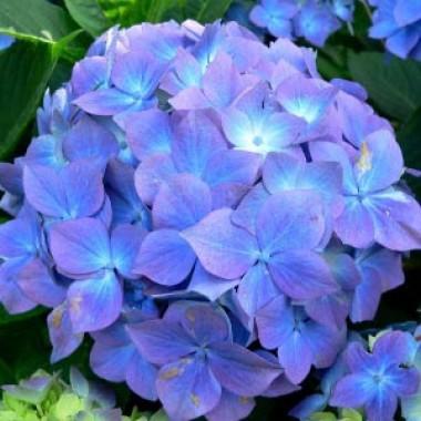 Гортензія Nikko Blue почтой
