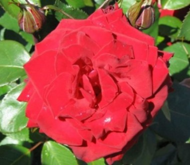 Роза Courage описание