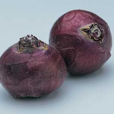 Гіацинт Purple Sensation фото