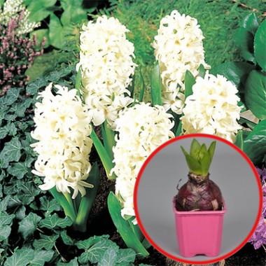 Гіацинт White Pearl (горщик 7 см) фото цена