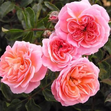 Троянда Pirouette описание