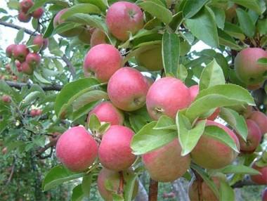 Яблуня Айдаред фото цена