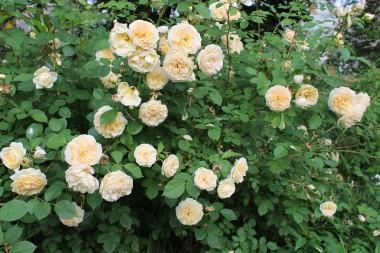 Троянда Teasing Georgia фото цена