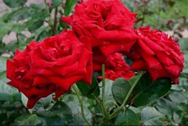Троянда Ingrid Bergman смотреть