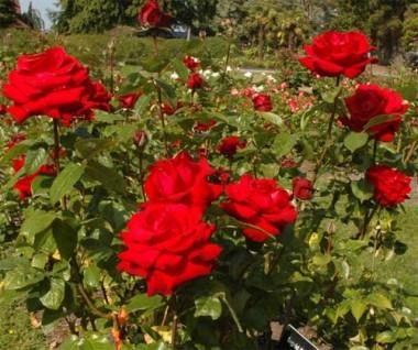 Троянда Ingrid Bergman фото цена