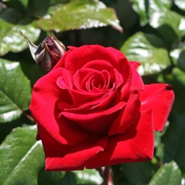 Троянда Ingrid Bergman почтой