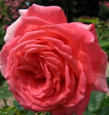 Троянда Interview в киеве
