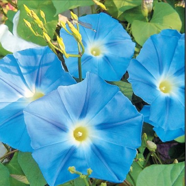 Іпомея Небесно-синя в киеве