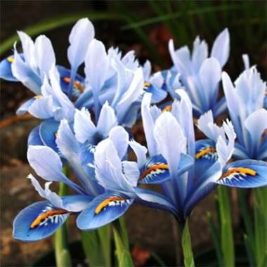Ірис reticulata Alida фото цена