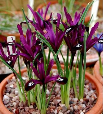 Ірис reticulata Pauline описание
