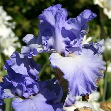 Ірис Yaquina Blue описание