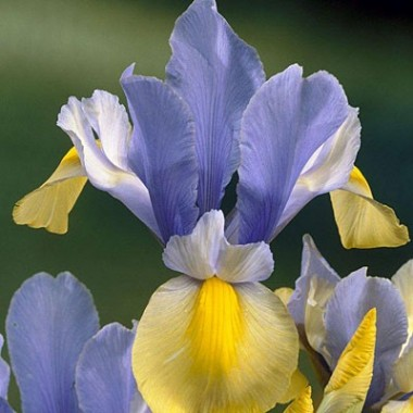 Ірис Hollandica Oriental Beauty фото