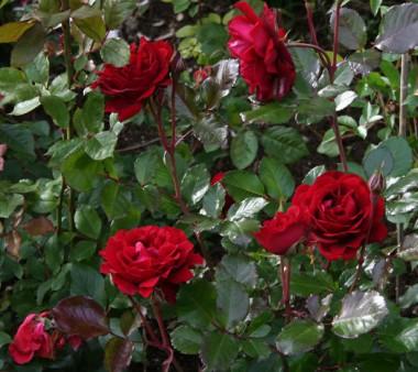 Троянди Поульсен купить