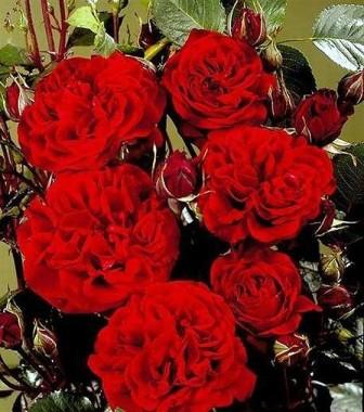 Троянда Isabel Renaissance интернет-магазин
