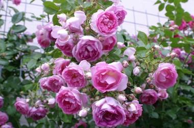 Троянда Jasmina смотреть