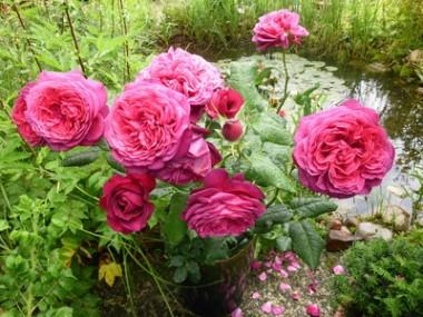 Троянда Johann Wolfgang von Goethe  купить онлайн