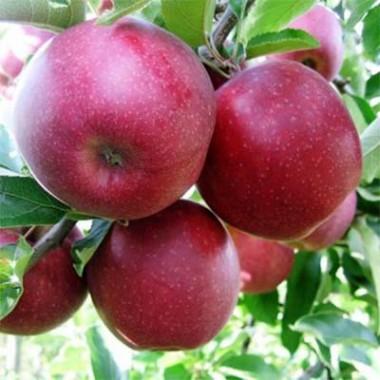 Яблуня Джонапринц купить онлайн