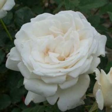 Троянди Поульсен